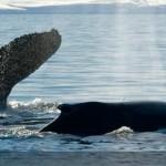 El idioma de las ballenas