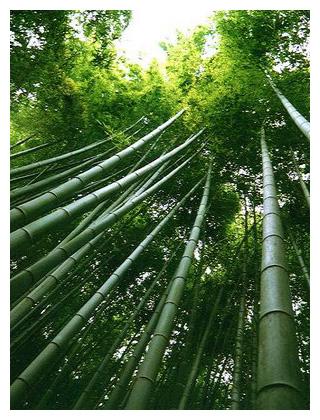 Bamb el acero vegetal espacio sustentable - Reproduccion del bambu ...