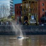 Una Ballena en Puerto Madero