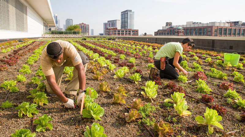 Huerta urbana Comunitaria en Chicago